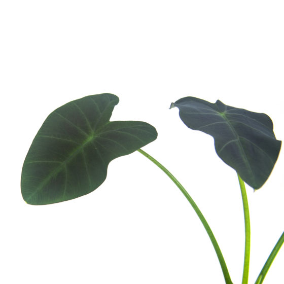 Colocasia Coal Miner