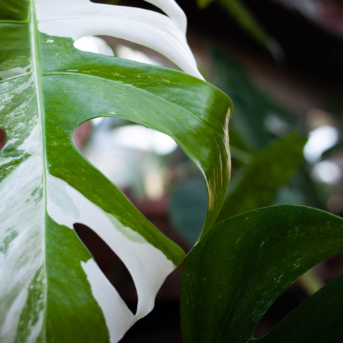 Philodendron - Monstera